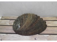 Abalone Shell Small